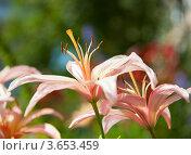 Купить «Розовые лилии», фото № 3653459, снято 8 июля 2012 г. (c) Екатерина Овсянникова / Фотобанк Лори
