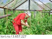 Купить «Женщина подвязывает помидоры в парнике», эксклюзивное фото № 3657227, снято 20 июня 2012 г. (c) Алёшина Оксана / Фотобанк Лори
