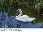 Лебедь. Стоковое фото, фотограф Алина Сысоева / Фотобанк Лори
