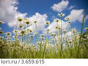 Ромашки. Стоковое фото, фотограф Андрей Дюжечкин / Фотобанк Лори