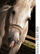 Лошадь белой масти. Стоковое фото, фотограф Олег Скударнов / Фотобанк Лори