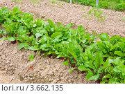 Купить «Грядки с овощами на приусадебном участке», эксклюзивное фото № 3662135, снято 23 июня 2012 г. (c) Алёшина Оксана / Фотобанк Лори