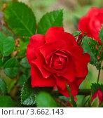 Купить «Красная плетистая роза (Rosa Climber)», эксклюзивное фото № 3662143, снято 23 июня 2012 г. (c) Алёшина Оксана / Фотобанк Лори