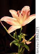 Купить «Лилия», фото № 3663271, снято 10 июля 2012 г. (c) Виктор Топорков / Фотобанк Лори