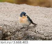 Азорский снегирь (Pyrrhula murina) - эндемик Азорских островов. Стоковое фото, фотограф Юлия Бабкина / Фотобанк Лори