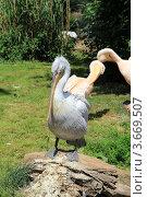 Пеликан (2012 год). Стоковое фото, фотограф Кутдусова Марина / Фотобанк Лори