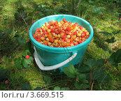 Купить «Морошка. Неполное ведро ягод.», фото № 3669515, снято 14 июля 2012 г. (c) Валерий Егоров / Фотобанк Лори