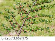 Купить «Кизильник горизонтальный», фото № 3669975, снято 20 июня 2012 г. (c) Катерина Макарова / Фотобанк Лори