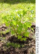 Купить «Молодой куст черной смородины», фото № 3670259, снято 20 июня 2012 г. (c) Катерина Макарова / Фотобанк Лори