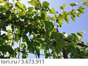 Зеленый виноград на даче. Стоковое фото, фотограф Тарасенко Татьяна / Фотобанк Лори