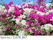 Цветы. Паттайя, Таиланд (2011 год). Стоковое фото, фотограф Рачия Арушанов / Фотобанк Лори