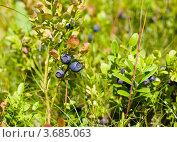 Купить «Кустик черники», фото № 3685063, снято 6 июля 2012 г. (c) Катерина Макарова / Фотобанк Лори