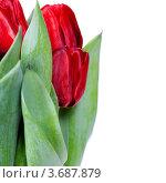 Купить «Красные тюльпаны на белом фоне», фото № 3687879, снято 18 февраля 2012 г. (c) Наталия Кленова / Фотобанк Лори