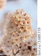 Купить «Белая японская сакура ( Prunus serrulata ) цветет весной. Малая глубина резкости.», фото № 3689119, снято 18 апреля 2012 г. (c) Ольга Липунова / Фотобанк Лори