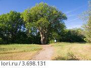 Купить «Памятник природы дуб-великан вблизи Вёшенской», фото № 3698131, снято 30 апреля 2012 г. (c) Борис Панасюк / Фотобанк Лори