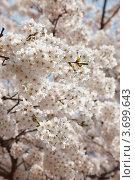Купить «Много ветвей белой японской сакуры (Prunus serrulata) цветет на фоне голубого неба весной», фото № 3699643, снято 19 апреля 2012 г. (c) Ольга Липунова / Фотобанк Лори