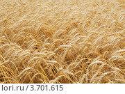 Купить «Фон из спелых колосьев пшеницы», фото № 3701615, снято 25 июля 2012 г. (c) Анастасия Богатова / Фотобанк Лори