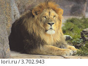 Лев отдыхает среди камней. Стоковое фото, фотограф Юрий Васильев / Фотобанк Лори