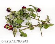 Красные завядшие розы на белом фоне. Стоковое фото, фотограф Константин Примачук / Фотобанк Лори