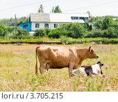 Купить «Коровы пасутся на лугу на фоне деревенского дома», эксклюзивное фото № 3705215, снято 28 июля 2012 г. (c) Игорь Низов / Фотобанк Лори