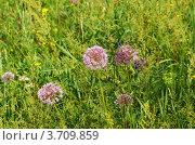 Купить «Забайкалье, цветёт дикий лук мангыр - лук стареющий Allium senescens L», эксклюзивное фото № 3709859, снято 31 июля 2012 г. (c) Валерий Лаврушин / Фотобанк Лори