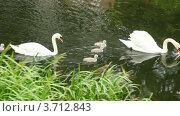 Купить «Пара белых лебедей с выводком на пруду летом», видеоролик № 3712843, снято 5 декабря 2010 г. (c) Losevsky Pavel / Фотобанк Лори