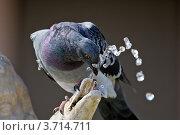 Пьющий голубь. Стоковое фото, фотограф Артур Даминов / Фотобанк Лори