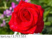 Роза с каплями воды. Стоковое фото, фотограф Андрей Корж / Фотобанк Лори