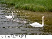 Купить «Семейство лебедей», фото № 3717911, снято 28 июня 2012 г. (c) Андрей Паршаков / Фотобанк Лори