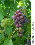 Белый и синий виноград. Стоковое фото, фотограф Юлия Науменко / Фотобанк Лори