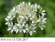 Цветок лука. Стоковое фото, фотограф Юлия Науменко / Фотобанк Лори