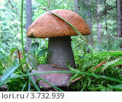 Подосиновик в хвойном лесу. Стоковое фото, фотограф Vladimir Pen / Фотобанк Лори