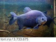 Аквариумная рыбка - черный паку или травоядная пиранья (Colossoma brachypomum) Стоковое фото, фотограф Анна Омельченко / Фотобанк Лори