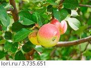 Купить «Яблоки на ветке», эксклюзивное фото № 3735651, снято 29 июля 2012 г. (c) Алёшина Оксана / Фотобанк Лори