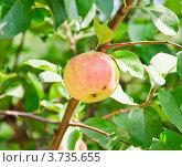 Купить «Яблоко на ветке», эксклюзивное фото № 3735655, снято 29 июля 2012 г. (c) Алёшина Оксана / Фотобанк Лори