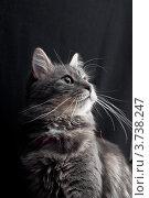 Купить «Серая пушистая кошка смотрит вверх», фото № 3738247, снято 30 ноября 2007 г. (c) Morgenstjerne / Фотобанк Лори