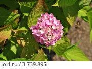 Гортензия садовая (Hydrangea paniculata Sieb) Стоковое фото, фотограф lana1501 / Фотобанк Лори