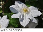 Купить «Цветок клематиса, или ломоноса (Clemаtis)», эксклюзивное фото № 3739943, снято 4 июля 2012 г. (c) lana1501 / Фотобанк Лори