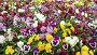 Красочные цветы анютины глазки, видеоролик № 3740319, снято 24 июля 2011 г. (c) Losevsky Pavel / Фотобанк Лори