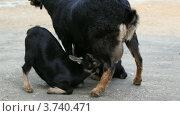 Купить «Коза кормит своих козлят молоком», видеоролик № 3740471, снято 3 августа 2011 г. (c) Losevsky Pavel / Фотобанк Лори