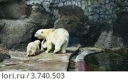 Купить «Белая медведица с двумя медвежатами в зоопарке», видеоролик № 3740503, снято 31 июля 2011 г. (c) Losevsky Pavel / Фотобанк Лори