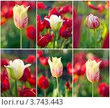 Купить «Тюльпаны, коллаж», фото № 3743443, снято 21 ноября 2018 г. (c) Максим Пименов / Фотобанк Лори