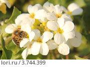 Пчела собирает нектар с цветка. Стоковое фото, фотограф Елена Таранец / Фотобанк Лори