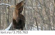 Купить «Лось объедает ветки в зимнем лесу», видеоролик № 3755763, снято 2 сентября 2011 г. (c) Losevsky Pavel / Фотобанк Лори