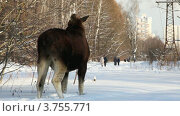 Купить «Лось объедает ветки в зимнем лесу», видеоролик № 3755771, снято 2 сентября 2011 г. (c) Losevsky Pavel / Фотобанк Лори