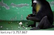 Купить «Павиан сидит перед стеной и ест в зоопарке», видеоролик № 3757867, снято 10 ноября 2011 г. (c) Losevsky Pavel / Фотобанк Лори