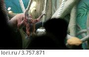 Купить «Люди смотрят на большую самку орангутанга с детенышем, в зоопарке», видеоролик № 3757871, снято 12 ноября 2011 г. (c) Losevsky Pavel / Фотобанк Лори