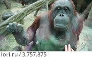 Купить «Отражение в стекле детей, смотрящих на самку орангутанга», видеоролик № 3757875, снято 10 ноября 2011 г. (c) Losevsky Pavel / Фотобанк Лори