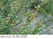 Карликовая березка. Стоковое фото, фотограф Анна Омельченко / Фотобанк Лори