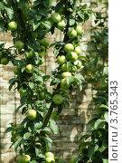 Ветка молодой яблони с яблоками. Стоковое фото, фотограф Жакова Дарья / Фотобанк Лори